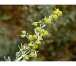 Absinto - Artemisia absinthium