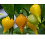 Biquinho Amarela - Capsicum chinense
