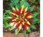 Tampala - Amaranthus tricolor