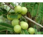 Groselha Indiana (Amla) - Phyllanthus Emblica