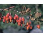 Uva-espim - Berberis vulgaris
