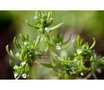 Segurelha - Satureja hortensis