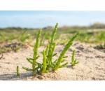 Salicórnia - Salicornia europaea