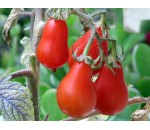 Tomate Pera Vermelho - Lycopersicon esculentum