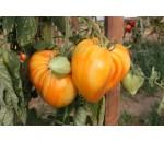 Tomate Coração de Boi Laranja - Solanum lycopersicum