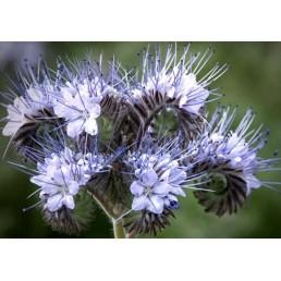 Facélia - Phacelia tanacetifolia