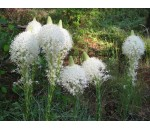 Capim-urso - Xerophyllum tenax