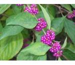 Beautyberry - Callicarpa Americana - 20 un.