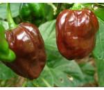 Habanero Chocolate - Capsicum chinense